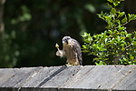 Peregrine Falcon holding it's 'hand' up by David Gibson