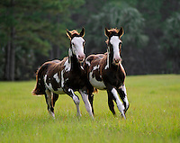 American Paint Horse weanling foals toward us in open green field.