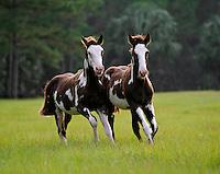 American Paint Horse weanling foals toward us in open green field.