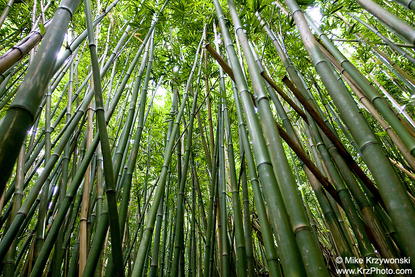 Bamboo forest, Paradise Park, Manoa Valley, Oahu