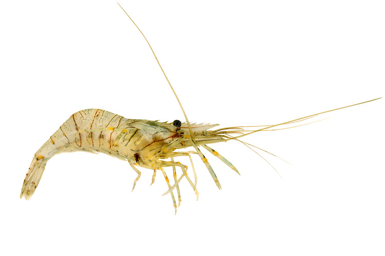 Palaemon elegans