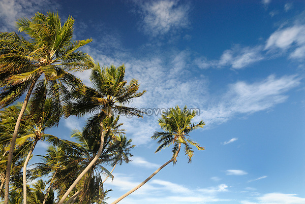 Brazil. Bahia, Praia do Forte. Palm trees at the Projeto Tamar. The Projeto TAMAR is a Brazilian non-profit organization with the main aim to protect sea turtles from extinction in the Brazilian coastline.