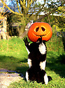29/10/16<br /> <br /> Black and White Ruffed Lemur called Thai.<br /> <br /> Staff at Peak Wildlife Parkcouldn't resist the chance for a bit of Halloween clowning-around by filling a suspended pumpkin with food in their lemur enclosure in the Staffordshire Moorlands near Leek. <br /> <br /> All Rights Reserved: F Stop Press Ltd. +44(0)1773 550665   www.fstoppress.com