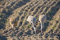 Sandhill cranes, Creamer's field migratory waterfowl refuge, Fairbanks, Alaska