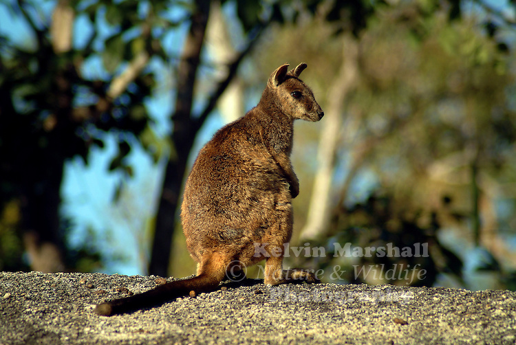 The Rock-wallabies (Petrogale spp.) is the most diverse genus amongst the living macropods with 16 species ranging from 1 to 12 kg in size. They are found across mainland Australia and on some recently separated offshore islands but not on the Bass Strait Islands, Tasmania or New Guinea.