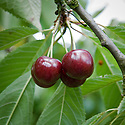 Cherry 'Sweetheart', mid July. A modern Canadian sweet cherry introduced in 1990. It is very late, the dark red fruits ripening gradually and usually lasting until the end of August.