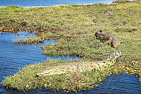 Nile Crocodiles watm themselves in the sunlight on the banks of the Chobe River in Chobe National Park, Botswana.