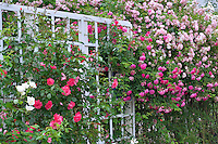 Climbing roses on arbor at Heirloom Gardens, St. Paul, Oregon