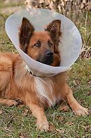 Haushund, Haushund, Hund, Schäferhund-Mischling mit Kragen am Hals, damit er sich nach einer Operation nicht die Wunden auflecken kann