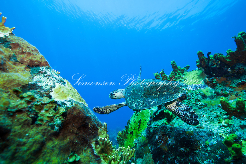 Hawksbill Turtle <br />