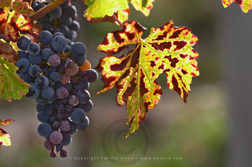 Bunches of ripe grapes. Vine leaf. Cabernet Franc. Chateau Paloumey, Haut Medoc, Bordeaux, France.