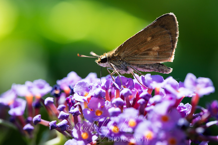 Two-spotted Skipper (Euphyes bimacula) on a flower at Oceanside Marine Nature Study Area in Hempstead, New York.