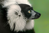 654054001 portrait of a captive ruffed lemur varecia variegata - animal is a zoo animal - species is highly endangered in its home distribution on the island of madagascar