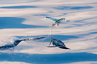 Flying Fish Species, Exocoetidae, with reflection visible, taking off and leaving a trail on the waters surface, Maldives, Indian Ocean