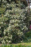 Illicium anisatum - Star Anise in spring flower