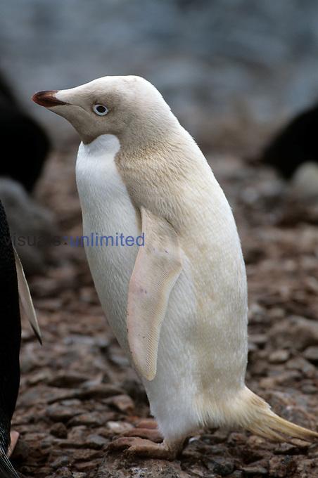 A leucistic albino Adelie Penguin ,Pygoscelis adeliae,, Antarctica.