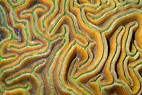 grooved brain coral, Diploria labyrinthiformis, Charlie's Reef, Cayman Brac, Cayman Islands, Caribbean Sea, Atlantic Ocean