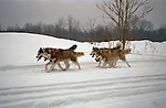 Siberian Husky's at a sled pull<br /> <br /> <br /> <br /> <br /> Shopping cart has 3 Tabs:<br /> <br /> 1) Rights-Managed downloads for Commercial Use<br /> <br /> 2) Print sizes from wallet to 20x30<br /> <br /> 3) Merchandise items like T-shirts and refrigerator magnets