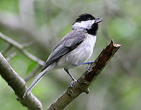 Adult Carolina chickadee singing