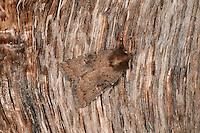 Brown Rustic - Rusina ferruginea