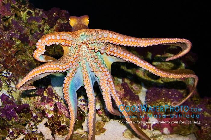 day octopus, Octopus cyanea, Hawaii, Pacific Ocean (c)