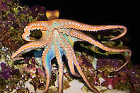 day octopus, Octopus cyanea, Hawaii, Pacific Ocean (c)