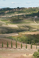 Sheep grazing near Montepulciano in the Val d' Orcia area of Tuscany, italy