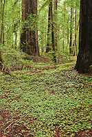 Redwood sorrel, Oxalis oregana, and coast redwoods, Sequoia sempervirens, in Big Hendy Grove, Hendy Woods State Park, California