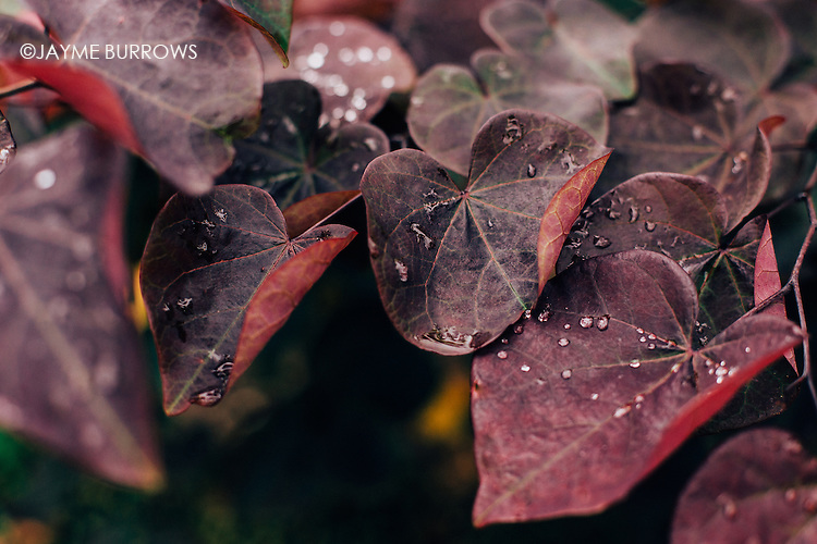 Background images of red and purple leaves on a tree with drops of water.
