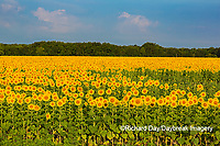 63801-07502 Sunflower field Sam Parr State Park Jasper County, IL