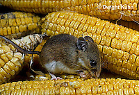 MU54-005z   White-Footed Mouse - eating corn -  Peromyscus leucopus