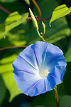 This beautiful Morning Glory vine sits in a spot of the UW's Medicinal Herb Garden that gets 6+ hours of sun each day, a must for good blooms on this traditional cottage garden annual vine.  Unlike the local invasive weed Bindweed, sometimes called Wild Morning Glory, true Morning Glory is an annual that reproduces only from seed, not the underground runners of Bindweed.