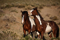 Two paints playfully bite while grazing at South Steens.  This wild horse herd is located south of Frenchglen in the high desert country with extremely rocky surfaces divided by deep canyons, rim rocks and plateaus.Many young studs are coming of age.