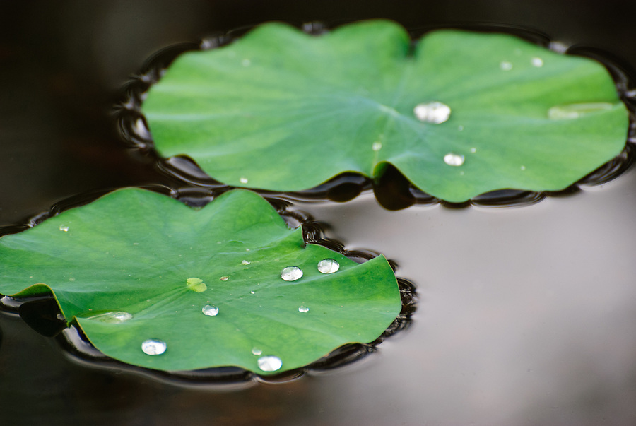 Close-up of waterdrops on lilypads floating in a river.