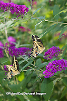 03017-01311 Giant Swallowtail butterflies (Papilio cresphontes) male and female at Butterfly Bush (Buddleia davidii),  Marion Co., IL