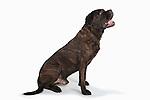 Cane Corso Dog, Sitting, Studio, White Background