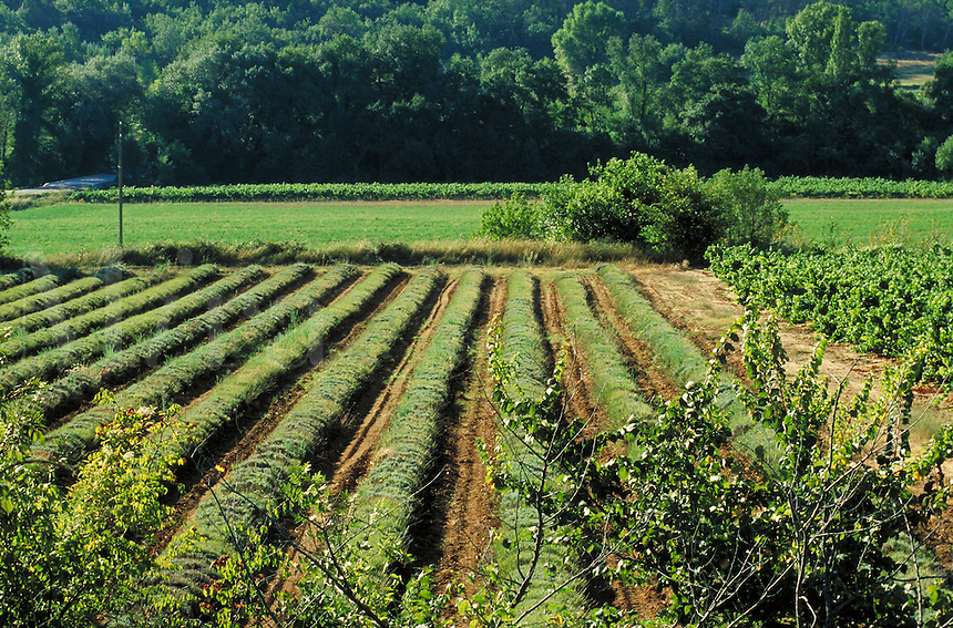 Lavender rows backlit by early sun; view over small trees. Bright vineyard beyond extends to shaded tree line and wooded hillside. Goudargues Provence France.