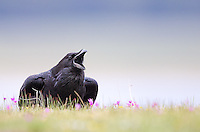 Common ravens are underrated photo subjects.  They're handsome and intelligent birds.