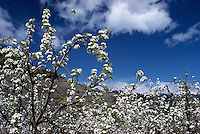 Blossoms on Apple Trees, Orchard blooming in Spring, Okanagan Valley, BC, British Columbia, Canada