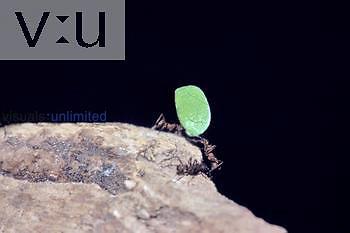 Leaf-cutter ants Costa Rica