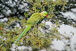 Rose Ringed Parakeet, male, Psittacula krameri, Keoladeo Ghana National Park, Rajasthan, India, formerly known as the Bharatpur Bird Sanctuary, UNESCO World Heritage Site.India....