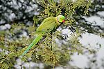 Rose Ringed Parakeet, male, Psittacula krameri, Keoladeo Ghana National Park, Rajasthan, India, formerly known as the Bharatpur Bird Sanctuary, UNESCO World Heritage Site.India....