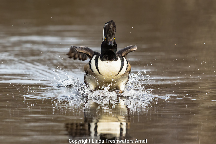 Hooded merganser landing in a northern Wisconsin lake