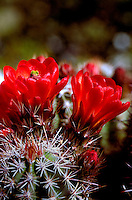 Detail close up of Claret-cup Hedgehog cactus (Echinocereus trilochidiatus)blossoms. Arizona.