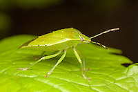 Green Stink Bug (Chinavia hilaris), West Harrison, Westchester County, New York
