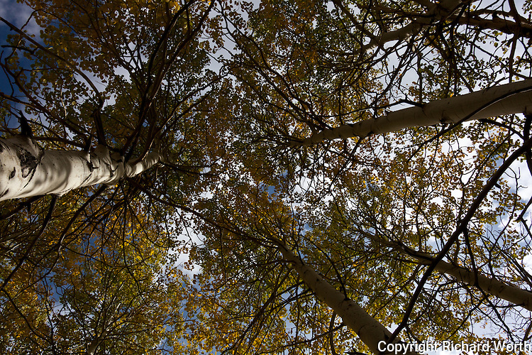 Looking up into a cluster of aspen all dressed up in autumn's color.   Eastern Sierras.