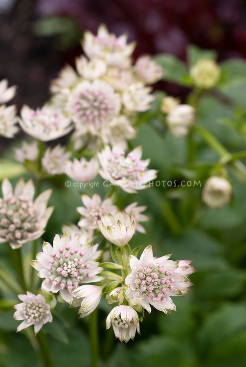 Astrantia major 'Million Stars', white masterwort