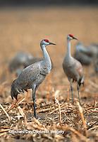 00882-026.19 Sandhill Cranes (Grus candensis) in corn field near Kearney   NE