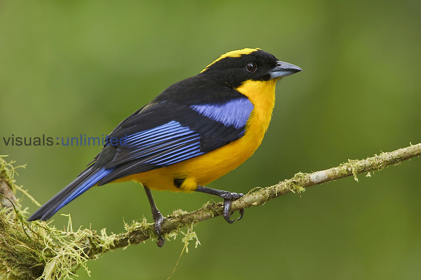 Blue-winged Mountain-Tanager (Anisognathus somptuosus) perched on a branch at the Mindo Loma Reserve in northwest Ecuador.