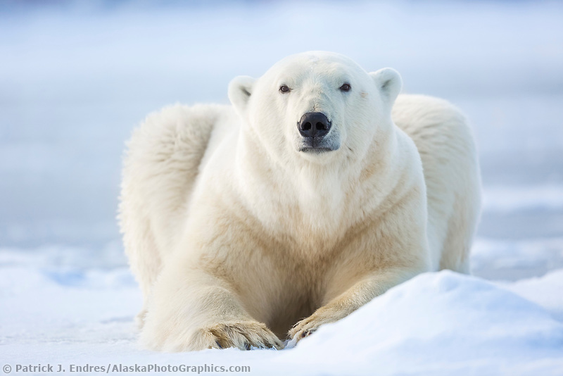 Polar bear on the Beaufort Sea Ice in Arctic, Alaska.